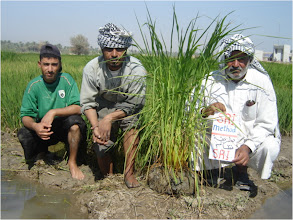 Photo: Farmers showing off the results of SRI methods, 2010 [Photo provided by  Khidir A. Hammed]