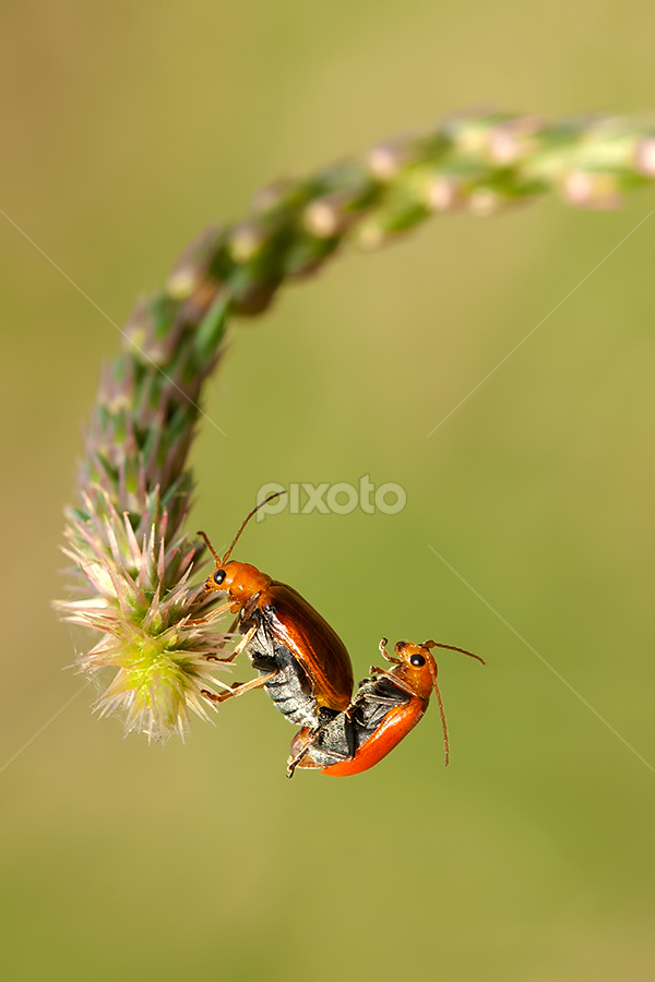 Circus of Love by Ganjar Rahayu - Animals Insects & Spiders ( orange, macro, bug, mating, insect )