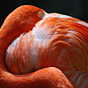 Flamingo by Solomon Aseoche - Animals Birds ( bird, potrait, nature, flamingo, wildlife, face, photography, closeup, close, up,  )