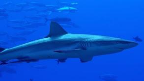 Palau Shark Sanctuary thumbnail