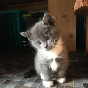 Greycie by Marianne Fischer - Animals - Cats Kittens (  )