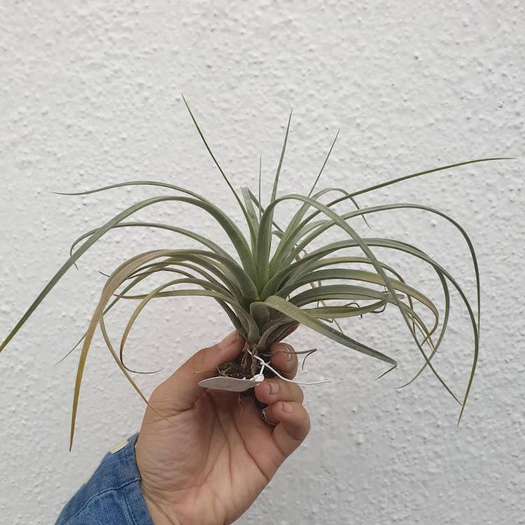 Tillandsia Utriculata ssp Prengii x Xerographica
