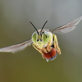 Ngepoot by Balox Berhati Nyaman - Animals Insects & Spiders ( flying, macro, nature, fly, insects, insect, close up, natural )