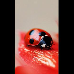 Ladybug Wallpaper HD - náhled