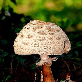 Gros chapeau by Gérard CHATENET - Nature Up Close Mushrooms & Fungi