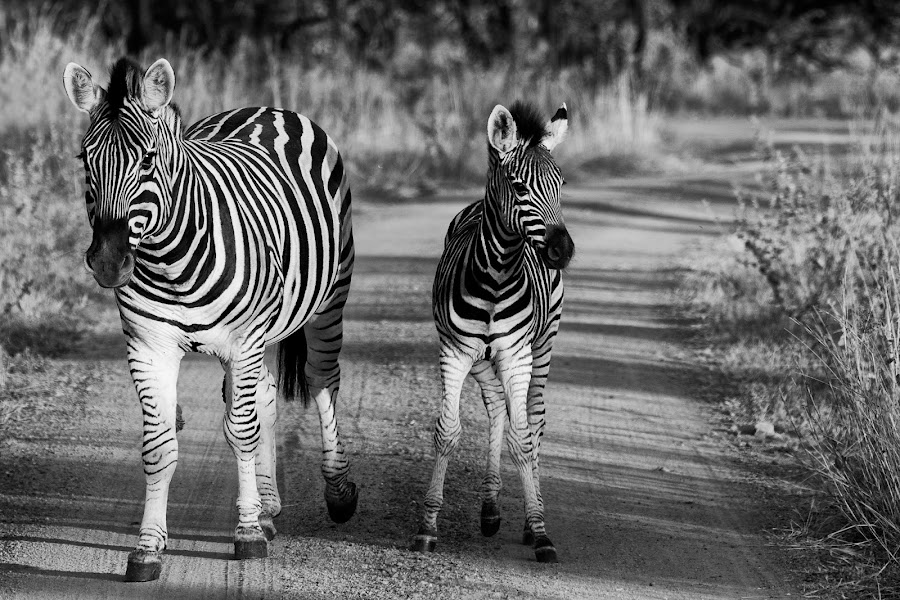 by Francois Cloete - Animals Other Mammals (  )