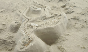 "Photo: ""There was a very good chance that this was not a skeleton - just an isolated skull, but the excavation has progressed to where it is apparent that it is a quite complete skeleton"" said Rick Otto, Park Superintendent. Not much bigger than a large dog, Pseudhipparion is the smallest of the Ashfall horses. It is also the most abundant with remains of more than 50 individuals, from newborns to old adults, that have been excavated at the site to date."