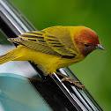 Reinita de manglar (Yellow warbler)