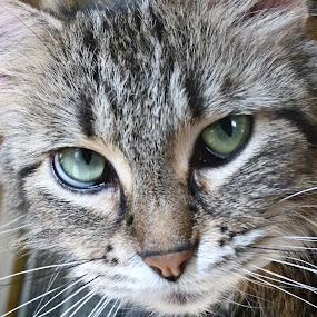 Gypsy by Nikki Scott - Animals - Cats Portraits ( cat, maine coon, feline,  )