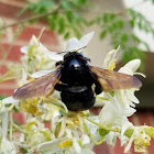 Mexican carpenter bee