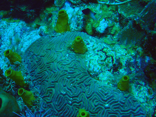 A yellow boring sponge just off West End Beach in Roatan, Honduras.