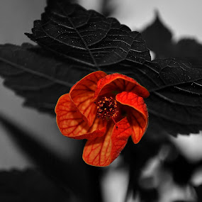 by Ivelina Angelova - Nature Up Close Flowers - 2011-2013 ( macro, red, plants, flowers, blossom, pwcredscapes )