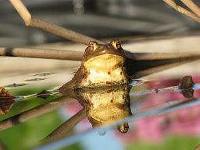 Photo: Frosch im Teich beim Alex