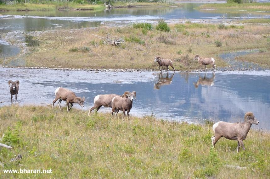 A flock of long-horned sheep
