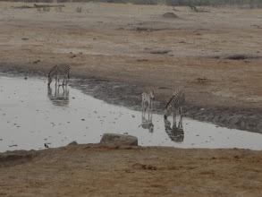 Photo: Baby zebra playing around the water