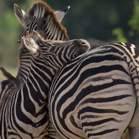 Zebra by David Botha - Animals Other Mammals ( animal )