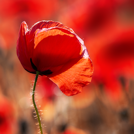 by Norbert Atď - Uncategorized All Uncategorized ( red, poppy, red flower )