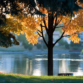 Serenity by Susan Grefe - Landscapes Waterscapes ( water, tree, autumn, fall, yellow, pond )