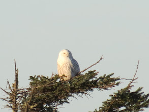 Photo: Snowy owl 1 of 3 -- south jetty on the Columbia River. 1/19/2013