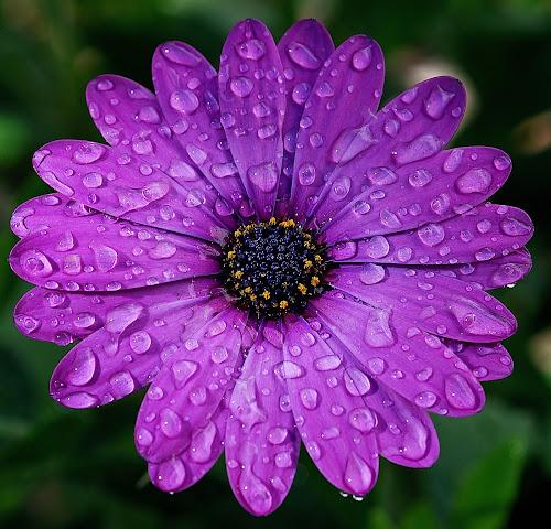 Margarita by Daniel Sapag - Flowers Flower Gardens