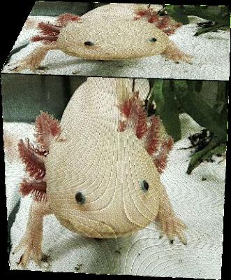 A cute Axolotl