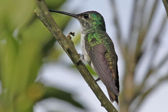 Photo: Andean Emerald