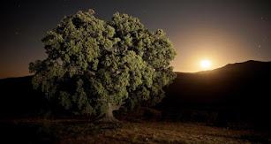 El árbol más grande de Andalucía se encuentra en Serón.