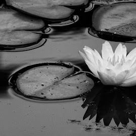 Water Lily by Cathy Hood - Black & White Flowers & Plants