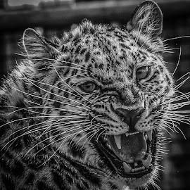 Leopard by Garry Chisholm - Black & White Animals ( big cat, nature, wildlife, garry, leopard )