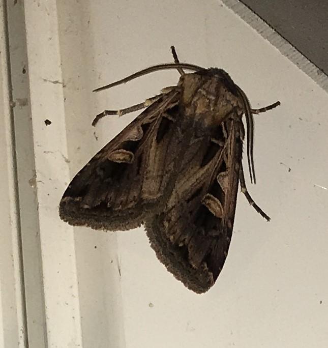 Subgothic Dart Moth