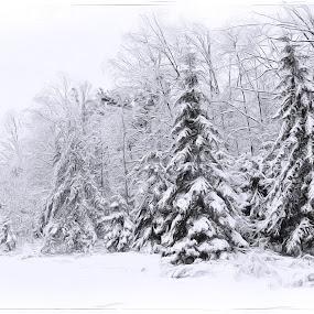 Winter by Al Duke - Black & White Landscapes ( winter, snow, trees, evergreen,  )