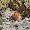 Common Copper