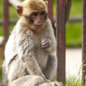Monkey by Lindberg-Photo.dk, Mathias Lindberg - Animals Other Mammals ( lindberg, givskud zoo, zoo, lindberg-photo, lindberg-photo.dk, mathias lindberg, denmark,  )