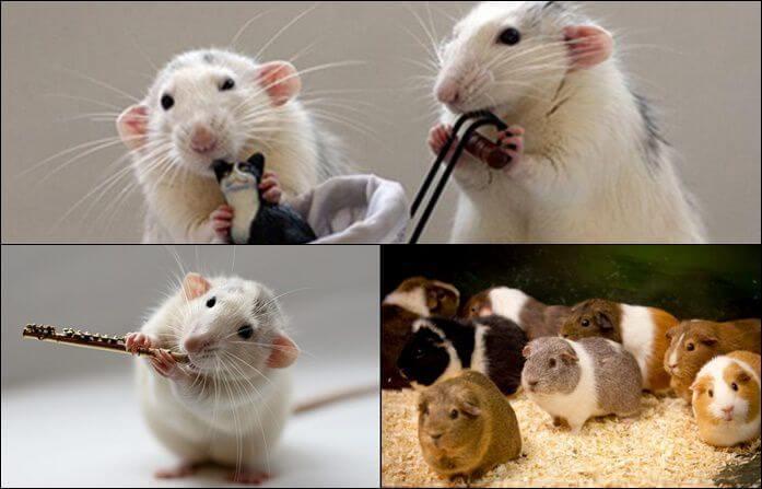 Chiêm bao thấy chuột và những thông điệp không thể bỏ qua