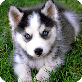 Dear Husky Dog Wallpaper