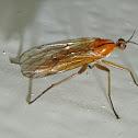 One-stripe dance fly