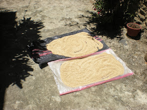 Photo: Quinoa drying from our family´s fields.