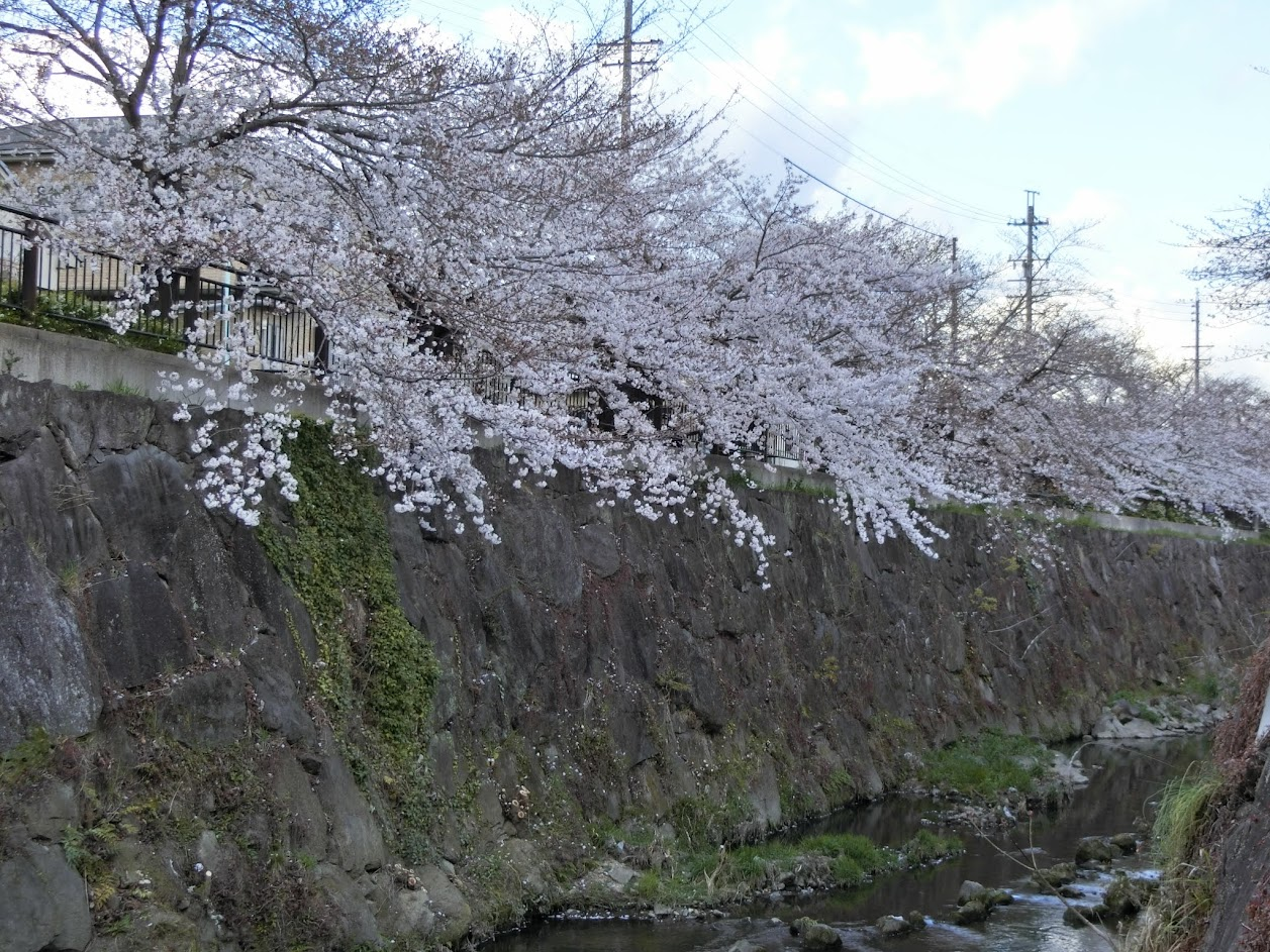 山崎川の桜を下から撮影