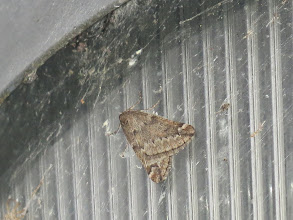 Photo: Priorslee Flash The March Moth on a lamp at The Flash. (Ed Wilson)