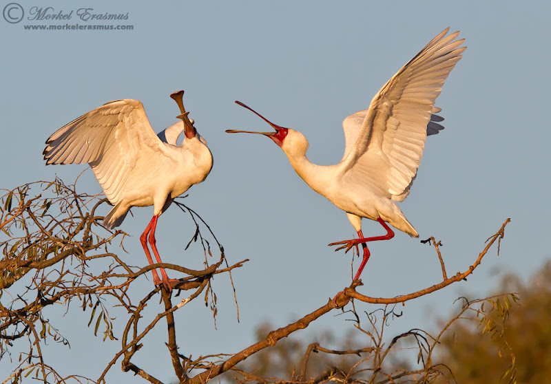 """Photo: """"Spoonbill Argument"""" - These 2 African Spoonbills were engaged in some kind of squabble at our local pond and rookery the other day. Looks complete like a married couple having a tiff! You can see the man flinching as he is being rambled at hahaha. Enjoy!"""