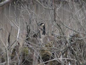 Photo: Canada Goose