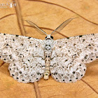 Dotted Gray Moth