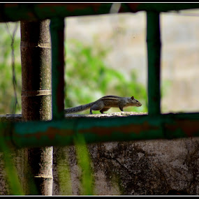 Squirrel by Vinay Ad - Animals Other
