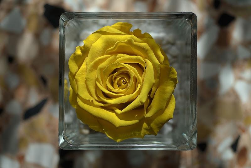 Yellow rose di -Os-