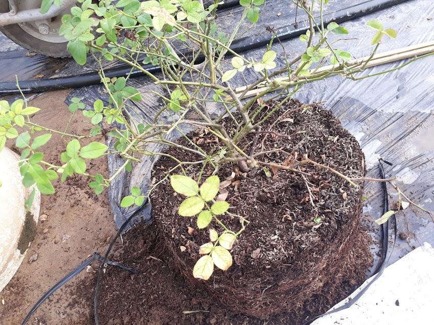 Cành hồng khô đen gốc dưới bên phải của cây hồng (trong ảnh) cần được loại bỏ trước khi trồng cây lại.