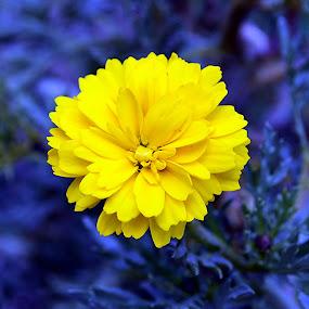 Yellow Flower by Ganesh Shahi - Nature Up Close Flowers - 2011-2013 ( flower, nepal )