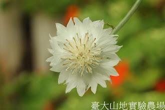 Photo: 拍攝地點: 梅峰-溫帶花卉區 拍攝植物: 矢車菊 拍攝日期:2012_09_27_FY
