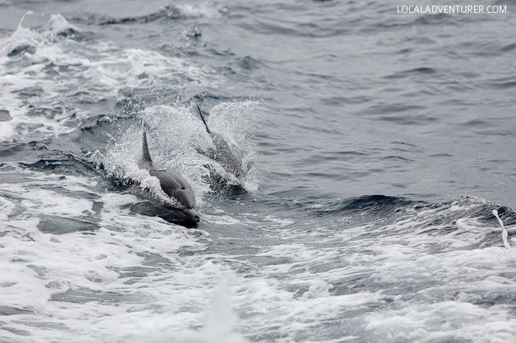 Common Dolphin - Must See in San Diego.