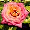 Pink rose.png