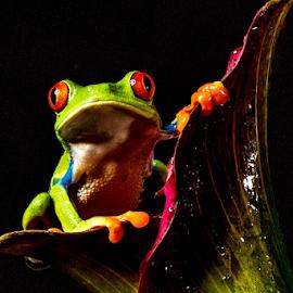 Tree Frog by Garry Chisholm - Animals Amphibians ( macro, nature, tree frog, amphibian, garry chisholm )